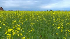 Canola Field with Barn - stock footage