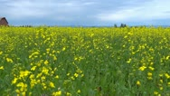 Stock Video Footage of Canola Field with Barn