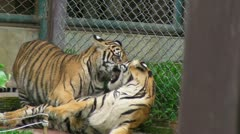 Roughhousing Tigers Stock Footage