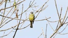 Kiskadee Flycatcher Female Bird (HD) Stock Footage