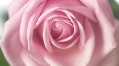 A pink rose, close-up Stock Footage