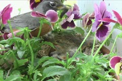 Baby Robins Fed By Parent Stock Footage