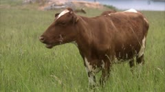 Cow in enclosed field, West Coast of Sweden Stock Footage