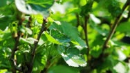 The leaves of black currant bushes Stock Footage