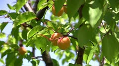 Ripe Apricots Stock Footage