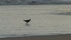 Wandering Tattler (Heteroscelus incanus) / Ulili on the Beach Stock Footage