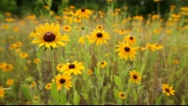 Stock Video Footage of Yellow Coneflower aka Echinacea paradoxa