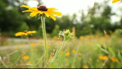 Yellow Coneflower  (Echinacea paradoxa ) Stock Footage