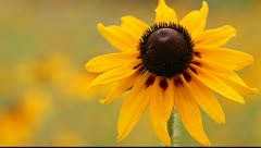 Echinacea paradoxa  (Yellow Coneflower) close up Stock Footage