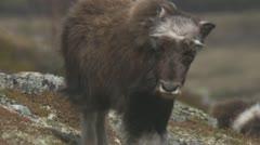 wild musk ox - stock footage