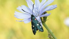 Variable burnet moth  on  a chicory flower / Zygaena  ephialtes Stock Footage