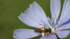Wild little bee on a chicory flower Stock Footage