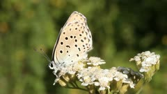 Polyommatus icarus / common blue butterfly, male on a white flower Stock Footage
