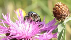 Green beetle Cetonia aurata on pink flower Stock Footage