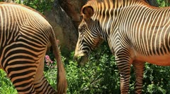 Cebra grevy 3 Stock Footage