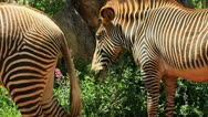 Stock Video Footage of cebra grevy 3