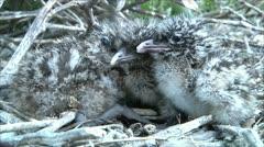 little gull nestlings 1 - stock footage