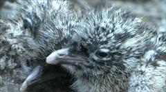 little gull nestlings 2 - stock footage