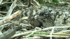 little gull nestlings 6 - stock footage