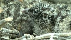 little gull nestlings 8 - stock footage