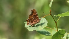 Comma (Polygonia c-album) - stock footage