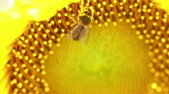A honey bee gathering pollen from a sunflower Stock Footage