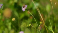 Bee on the flower summer day - stock footage