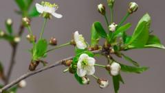 Cherry flowers blossoming time-lapse - macro blossom grow closeup - stock footage