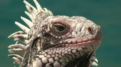Iguana Head Stock Footage