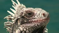 Stock Video Footage of Iguana Head