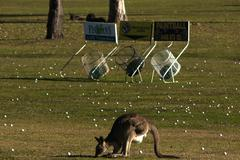 Roo at a Golfcourse.JPG - stock photo