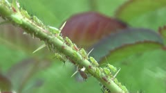 Accumulation of aphids on a plant Stock Footage