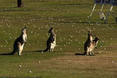 Mob of Roos at Driving Range.JPG Stock Photos