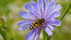 Bee on a purple flower Stock Footage