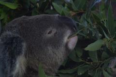 Koala eats Eucalyptus.JPG Stock Photos