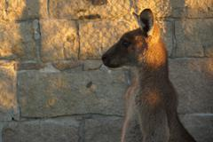 Kangaroo.JPG Stock Photos