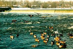 Canada Geese on the river.jpg Stock Photos