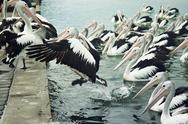 Stock Photo of Pelican Leap