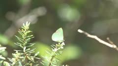 Koa Butterfly / Blackburn's Blue (Udara blackburni) Stock Footage
