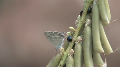 Long-tailed Blue Butterfly (Lampides boeticus) Stock Footage