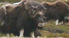 Wild musk ox Stock Footage