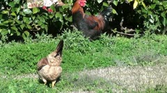 Fowls in the garden Stock Footage