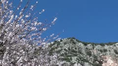 Blossomed tree and mountain Stock Footage