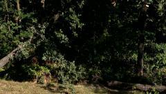 Falling tree - stock footage
