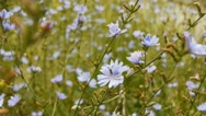 Stock Video Footage of Light blue flowers