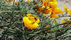 Bees Working on California Coastal Poppies Stock Footage