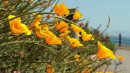 Stock Video Footage of California Coastal Poppies