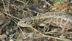 Sand Lizard (Lacerta agilis) Stock Footage