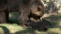 Brown bear babys Stock Footage