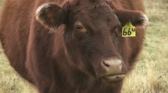 Cow chewing cud 02 - stock footage